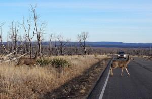 Buck Deer walks across road